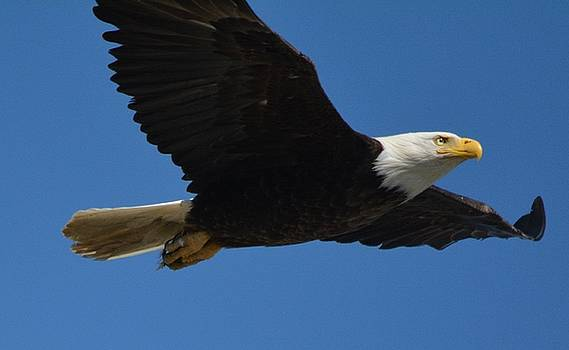 Bald Eagle Soaring High by Patricia Twardzik