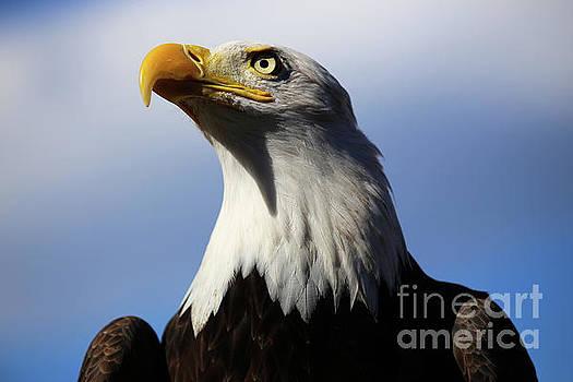 Bald Eagle by Steve Boice