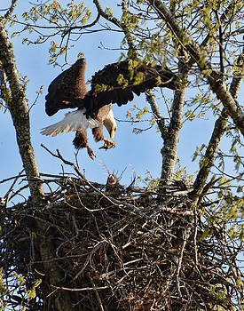 Bald Eagle Taking Fish To Nest 031520169678 by WildBird Photographs