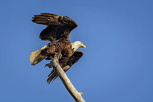 Bald Eagle Taking Flight by Robert Mitchell
