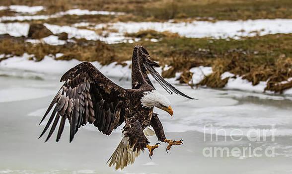Bald Eagle Talons Out by CJ Park