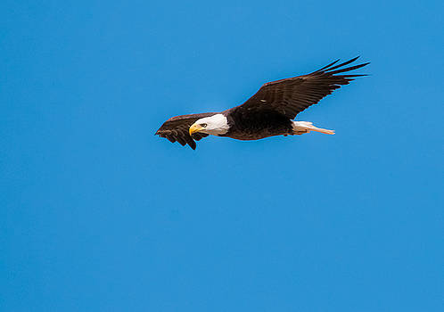 Tam Ryan - Bald Eagle