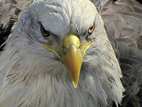 Bald Eagle - Up Close and Personal by Jake Danishevsky