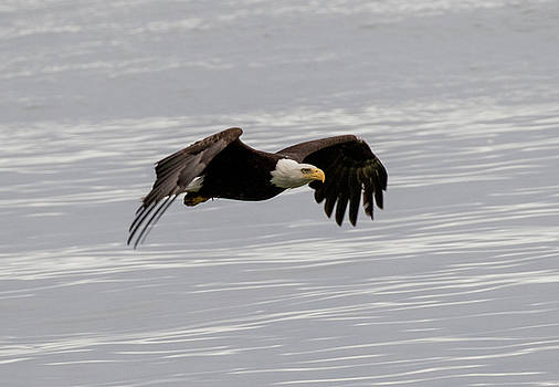 Gloria Anderson - Bald eagle wing tips down