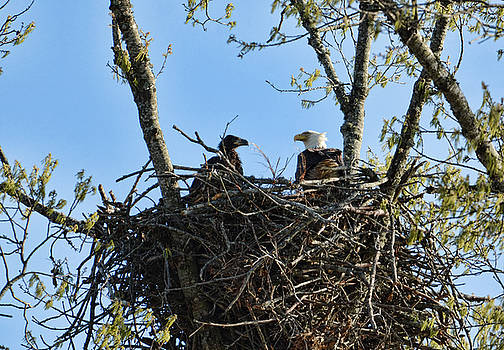 Bald Eagle With Chick In Nest 031520169849 by WildBird Photographs