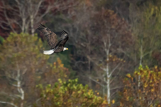 Bald Eagle with Fall Foliage by Gary E Snyder
