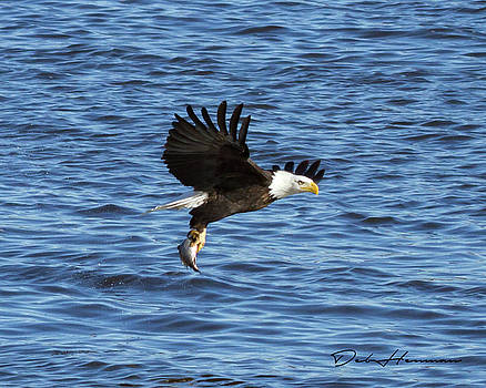 Bald Eagle with Fish by Deb Henman