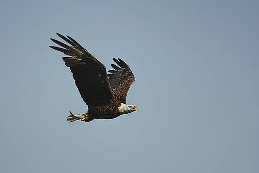 Bald Eagle With Fish Shiloh Tennessee 052620156449 by WildBird Photographs