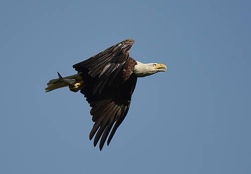 Bald Eagle With Fish Shiloh Tennessee 052620156464 by WildBird Photographs