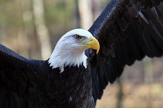 Jill Lang - Bald Eagle with Wings Up