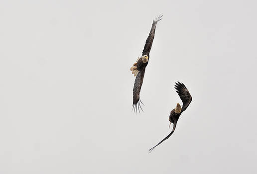 Bald Eagles Fighting In Flight 022720163493 by WildBird Photographs
