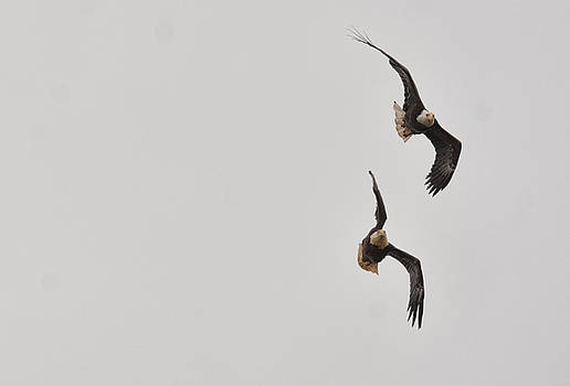 Bald Eagles In Flight 022720163495 by WildBird Photographs