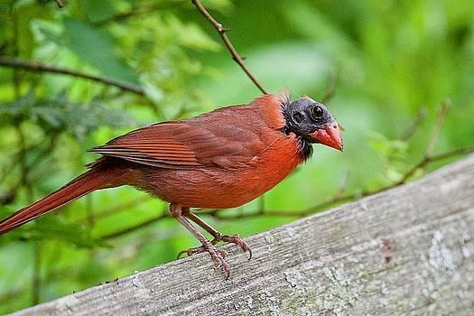Bald Northern Cardinal by Michael Peychich