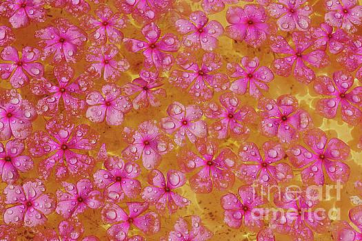 Balinese Flowers by Cassandra Buckley