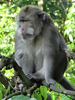 Balinese monkey in tree by Exploramum Exploramum