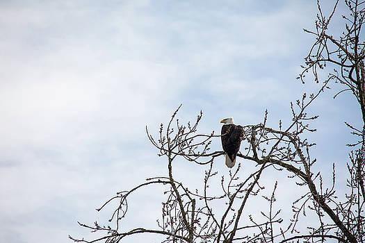 Balk Eagle by Rebecca Cozart