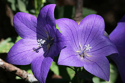 Balloon Flowers by Sheila Brown