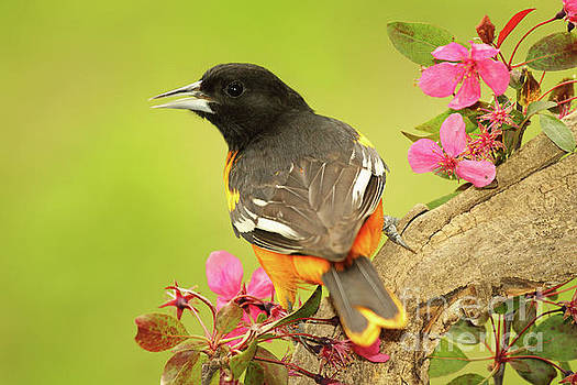 Baltimore Oriole Among Apple Blossoms by Max Allen