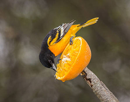 Baltimore Oriole on Orange by Kimberly Kotzian