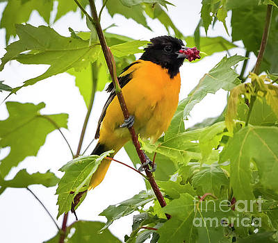 Baltimore Oriole with Raspberry  by Ricky L Jones