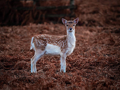 Bambi in the Bracken by Nick Bywater