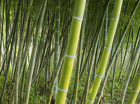 Bamboo Forest in Greenville by Alan Mogensen