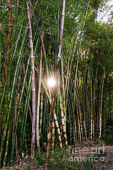 Bamboo growing in garden, sunlight coming through by Perry Van Munster