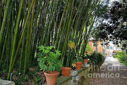 Bamboo in Botanical Garden of Pisa Italy by Tanya Searcy