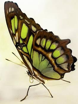 Bamboo Page Butterfly by Winnie Chrzanowski