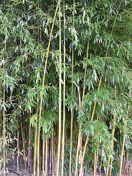 Bamboo by Susan Boyes