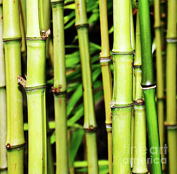 Bamboo Trunks  by Fei A