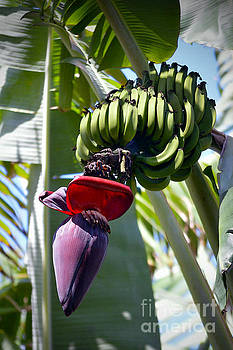 Banana Bunch and Flower Stalk by Catherine Sherman