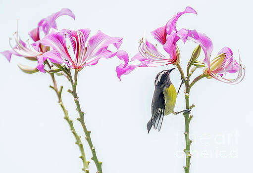 Bananaquit Floral by Cheryl Baxter