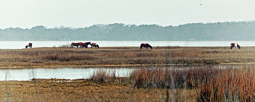 Band of Wild Horses along Sinepuxent Bay by Assateague Pony Photography