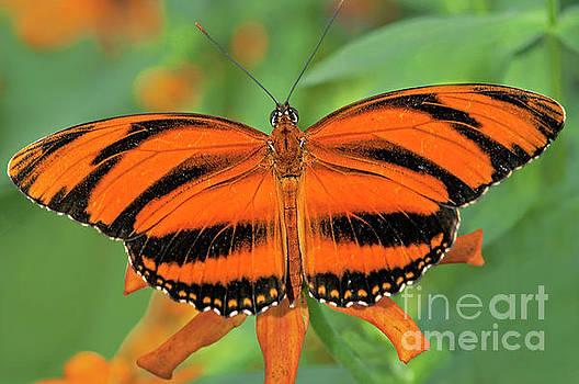 Regina Geoghan - Banded Orange Butterfly