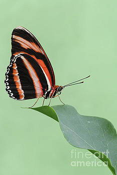 Banded Orange Longwing Butterfly #3 V2 by Judy Whitton