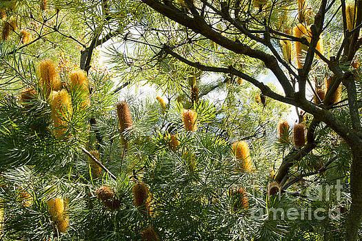 Banksia ericafolia by Sharon Mau
