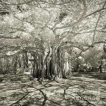Banyan Strangler Fig Tree by Martin Konopacki