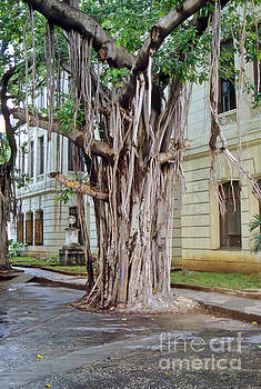 Bob Phillips - Banyan Tree