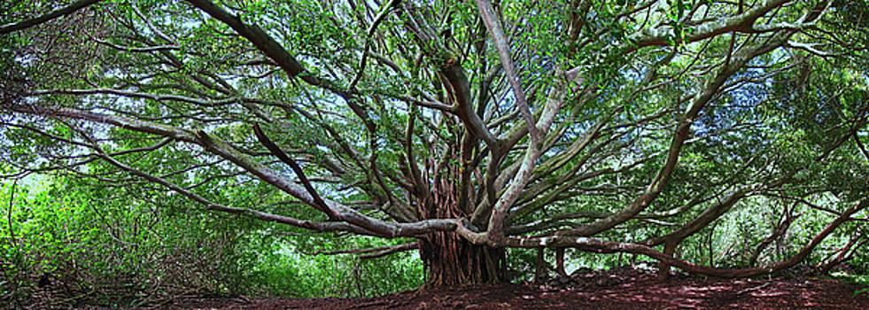 Banyan Tree by James Roemmling