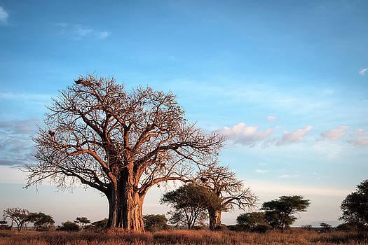 Baobab Evening by Mary Lee Dereske