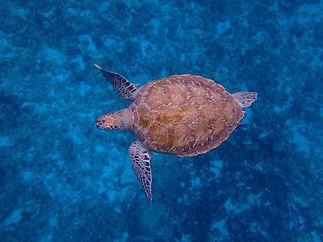 Kimberly Perry - Barbados Sea Turtle