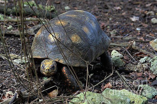 Barbados Wildlife Reserve-Red Footed Tortoise #1 by PJ Boylan