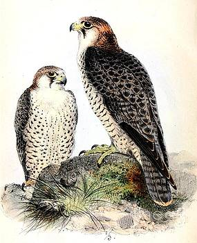 Barbary Falcon by Reproduction
