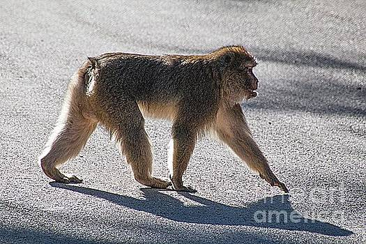 Barbary macaque, Morocco by Jim Wright