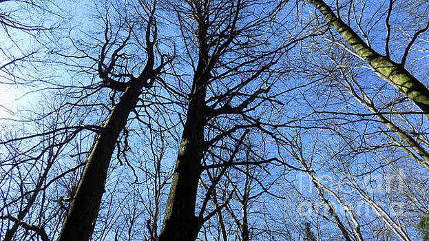 Bare Trees, Blue Sky by Mike O'Hagan