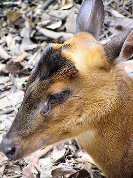 Barking Deer Hong Kong by Kathy Daxon