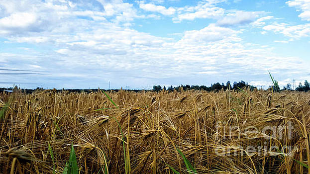 Barley and sky in Oulu, Finland. by Cesar Padilla