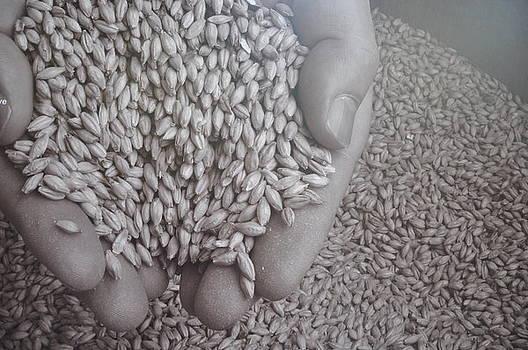 Barley by Caroline Reyes-Loughrey