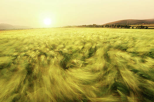Barley by Floriana Barbu